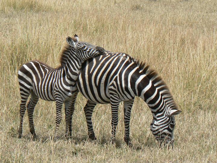17. zebre in Kenya