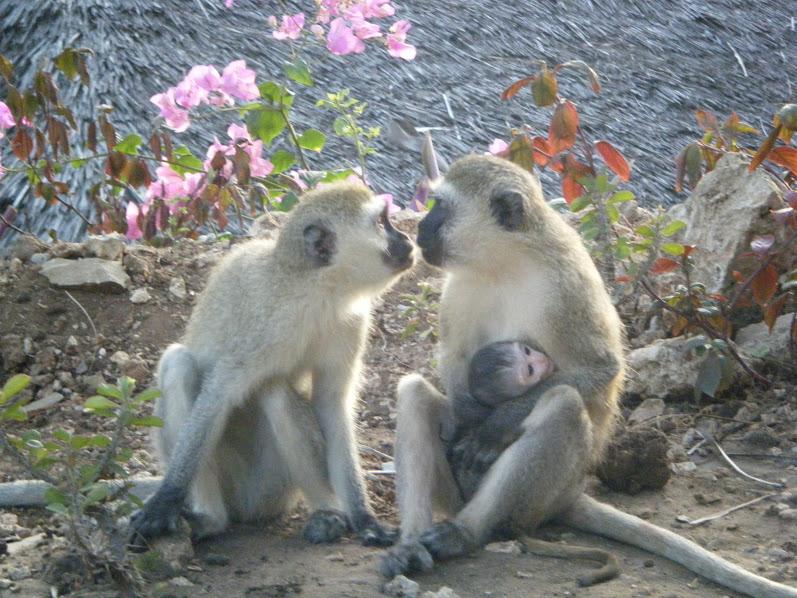 11. Dragoste de maimuta