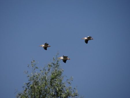 08. Pelicani in Delta Dunarii