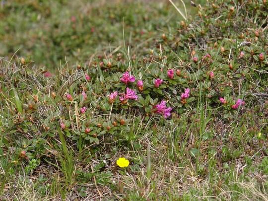 10. Flori de munte rosii