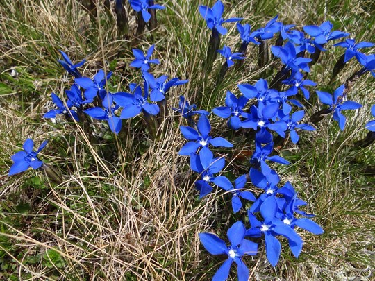 12. Flori albastre de Bucegi