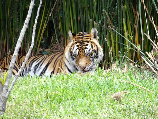 14. Tigru