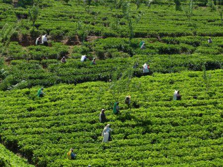 07. Plantatie ceai - Sri Lanka