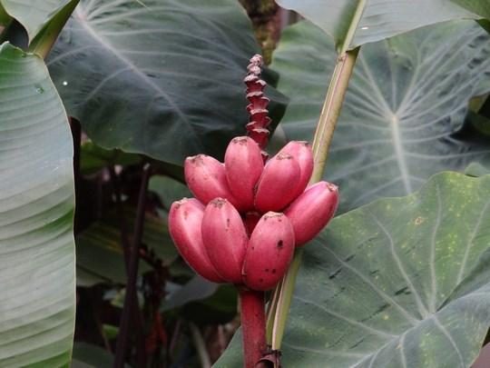 09. Banane rosii