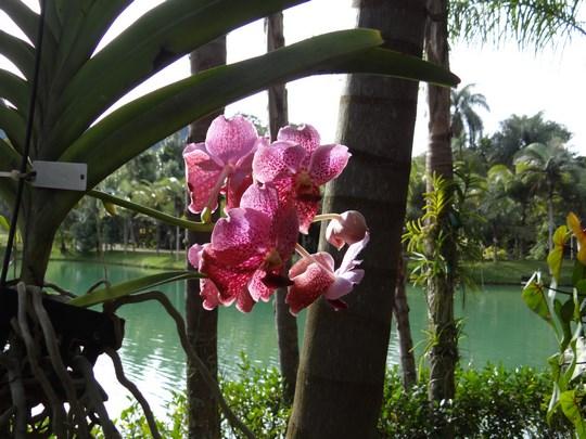 27. Orhidee Brazilia