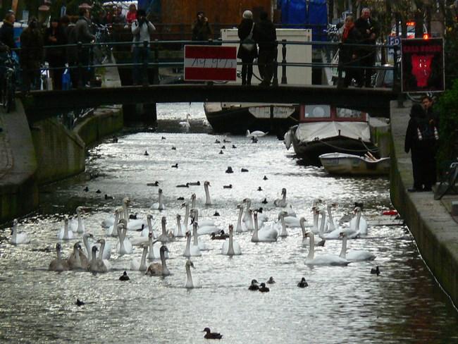 05. Lebede in Amsterdam