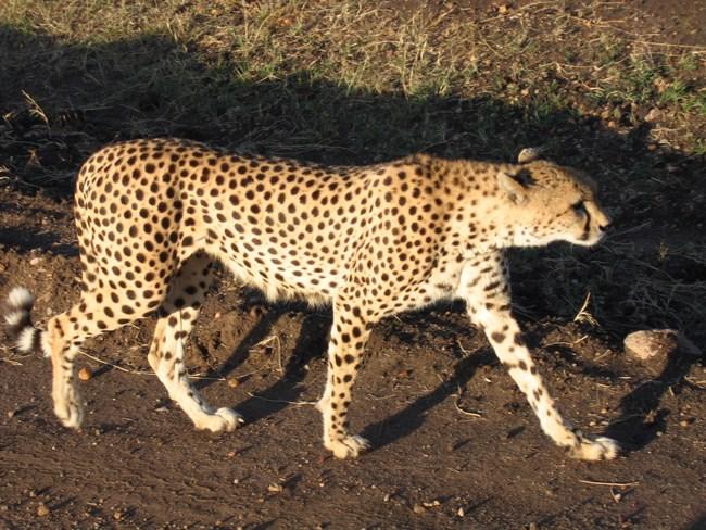 11. Ghepard in Kenya, Africa