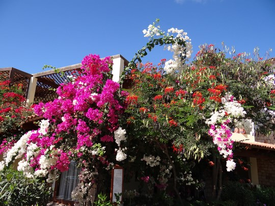 15. Flori in Capul Verde