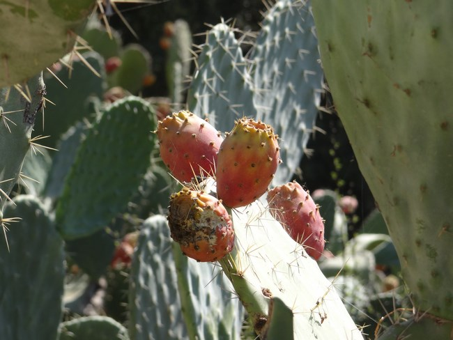 03. Fruct de cactus