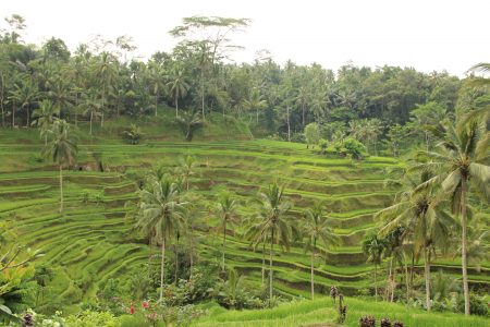 09. Rice terraces in Bali