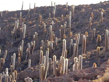 23. Padure de cactusi