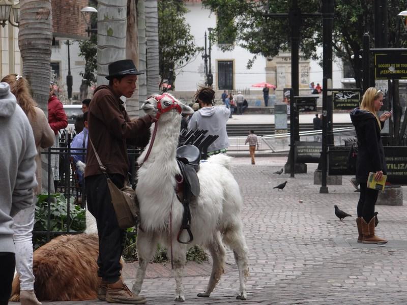 01. Lama in Bogota