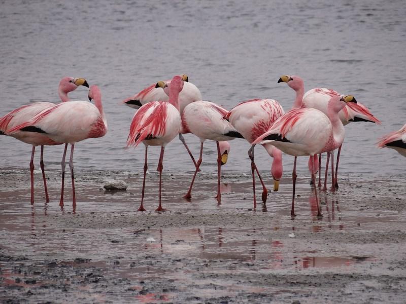 13. Flamingo Bolivia