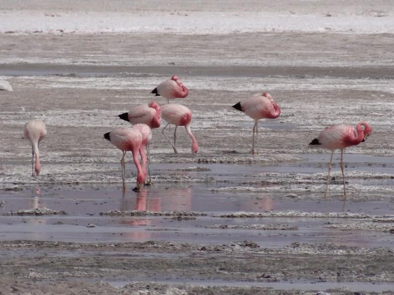 26. Flamingo