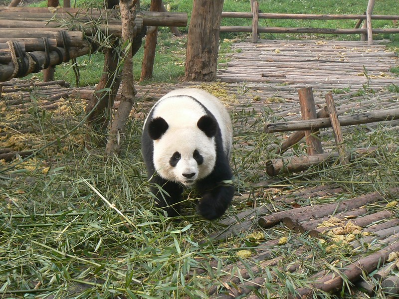 08. Panda