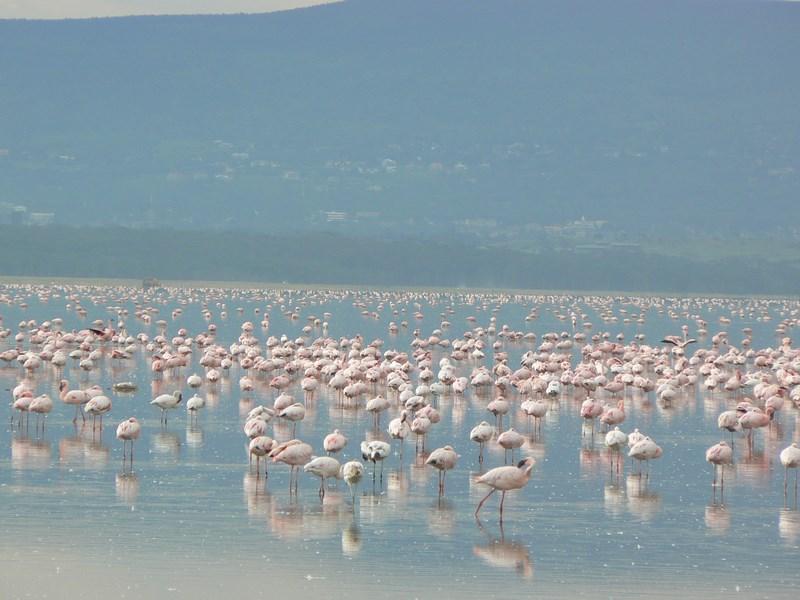 04. Flamingo - Nakuru