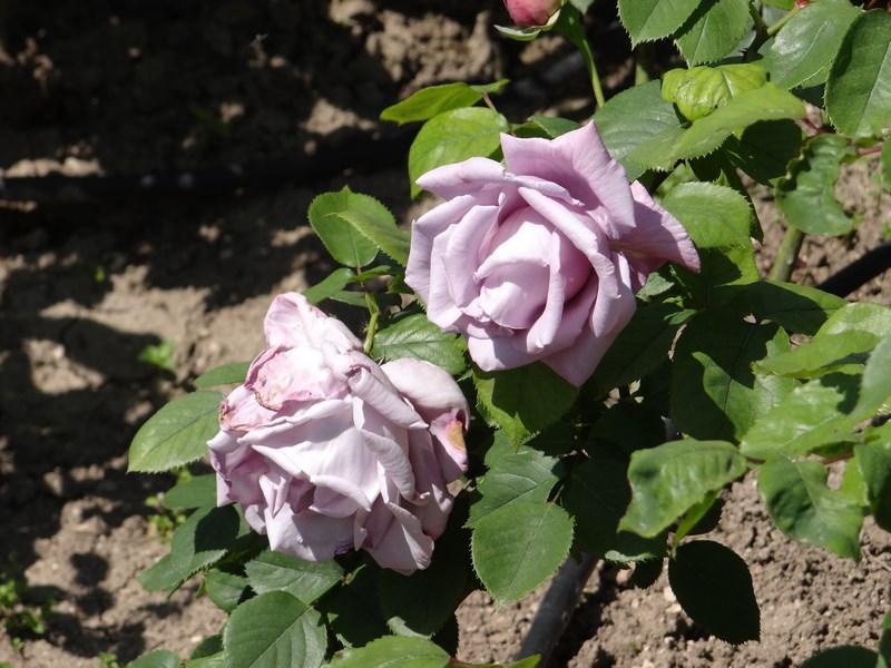 04. Trandafiri