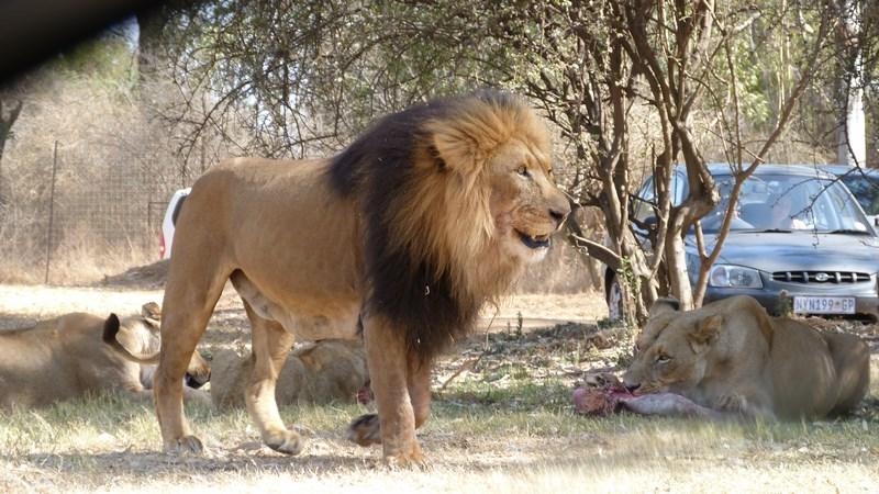 09. Lion Park - Johannesburg