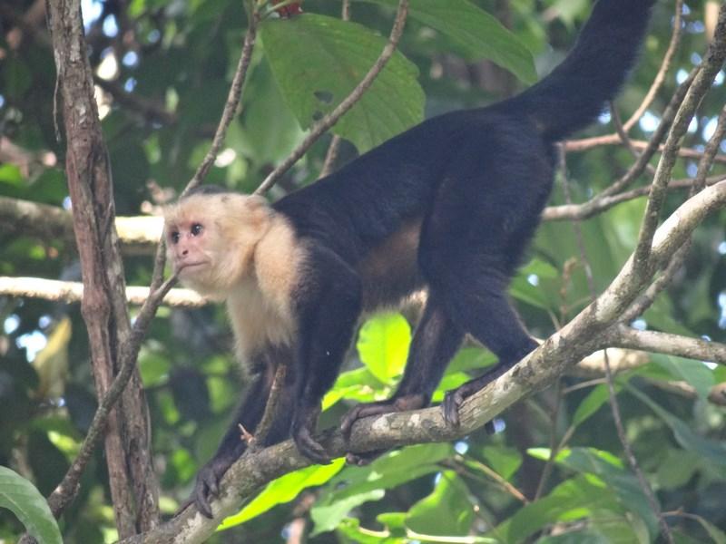11. Maimuta capuchin