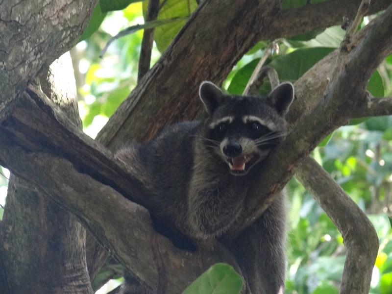 12. Raton - Costa Rica