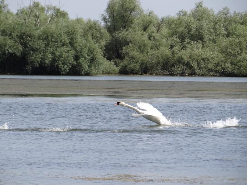 17. Lebada in Delta Dunarii