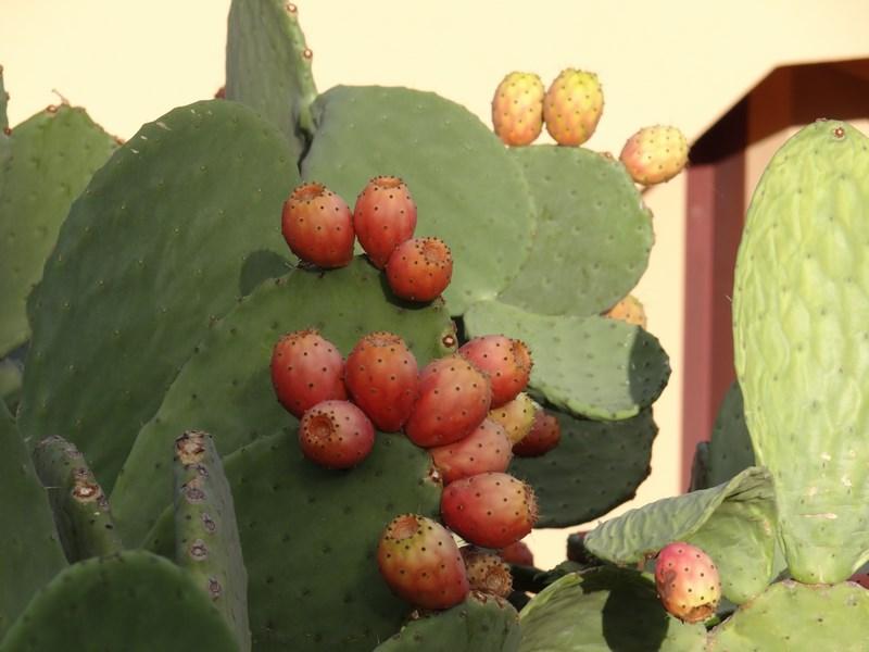 31. Fructe cactus