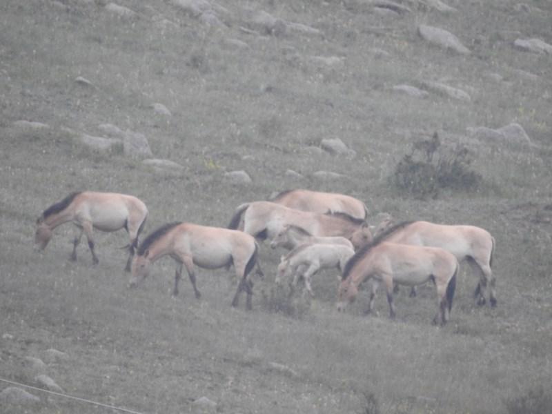 09-cai-salbatici-mongoli