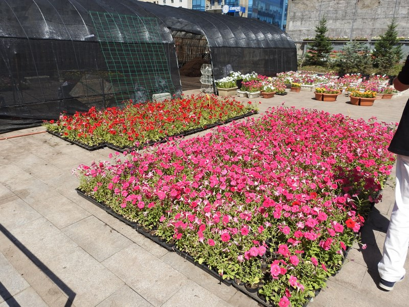 13-piata-de-flori-ulaan-bataar