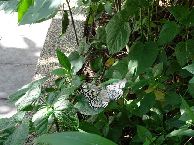 68-fluture-alb-negru