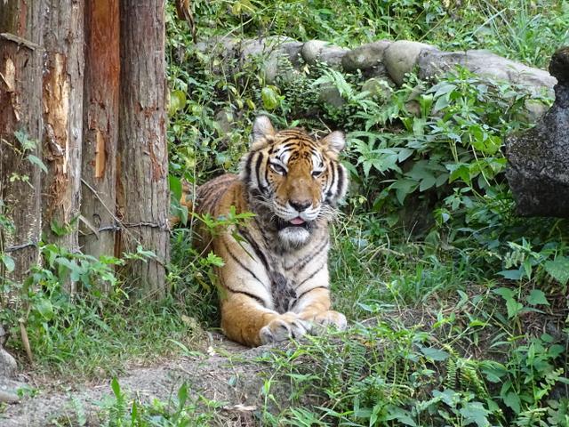 75-tigru
