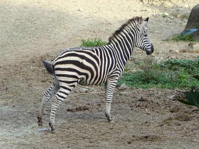 76-zebra