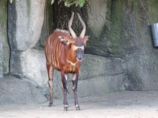 77-vaca-vargata