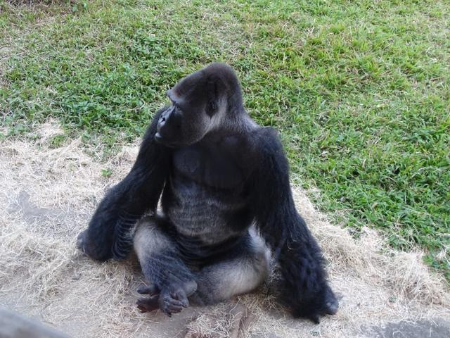 78-gorila