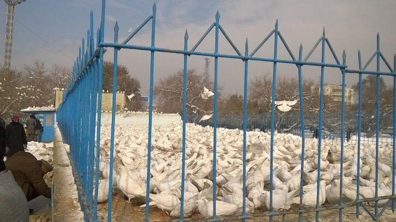11. Porumbei albi