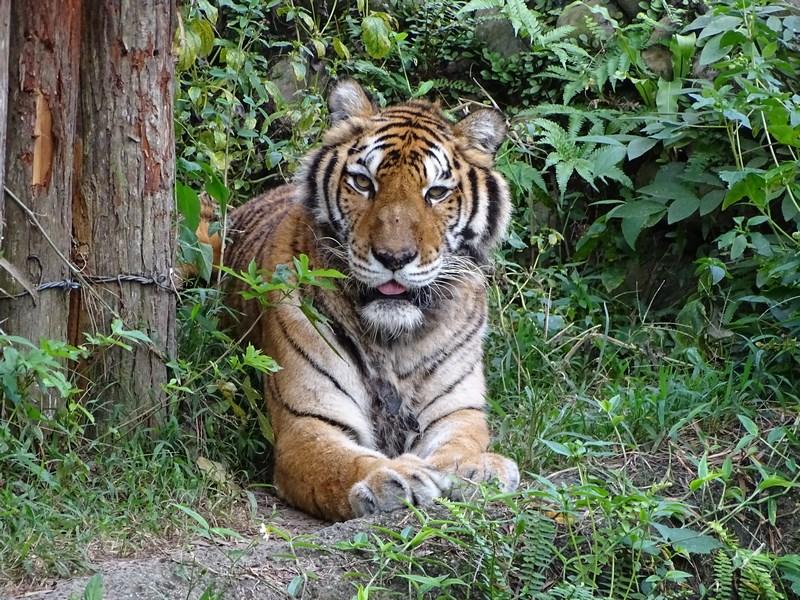 25. Tigru