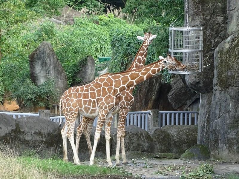 26. Girafe