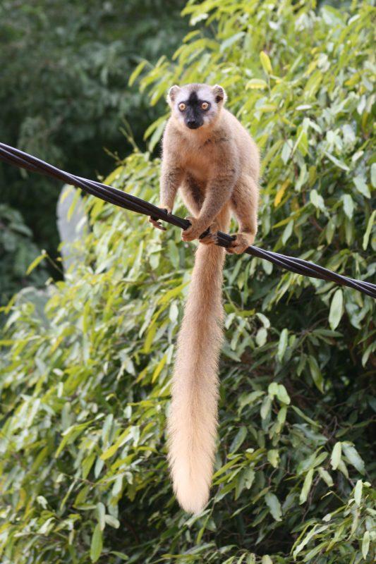 03. Lemur