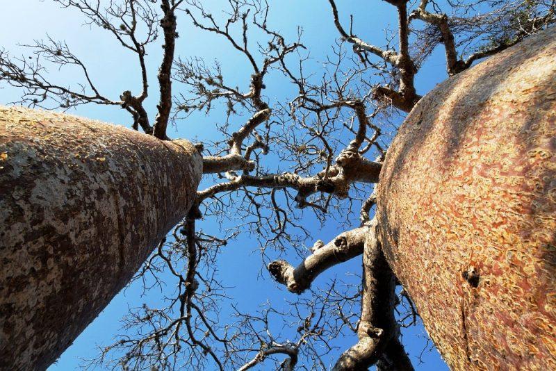 05. Baobab