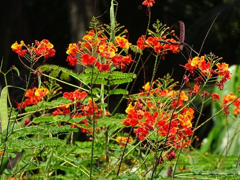06. Flori filipineze