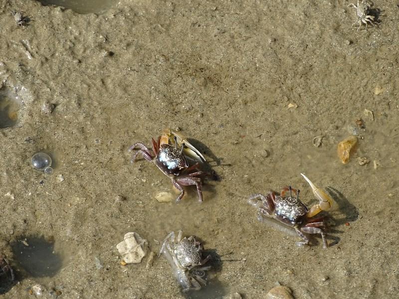 16. crabi