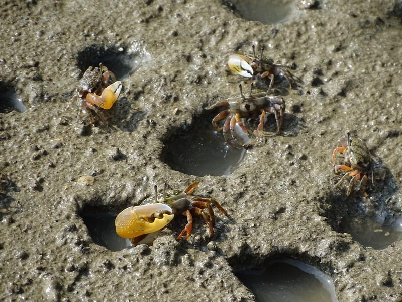 17. crabi in culcus