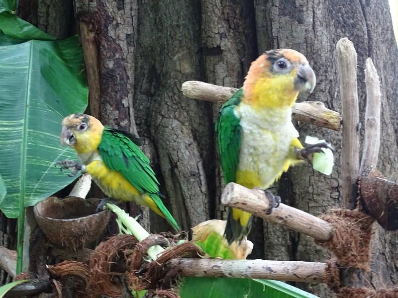 20. Papagali verzi