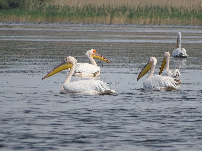 31. Pelicani