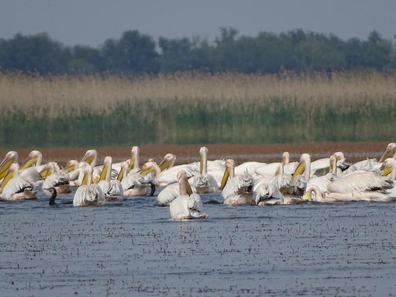 34. Pelicani in Delta