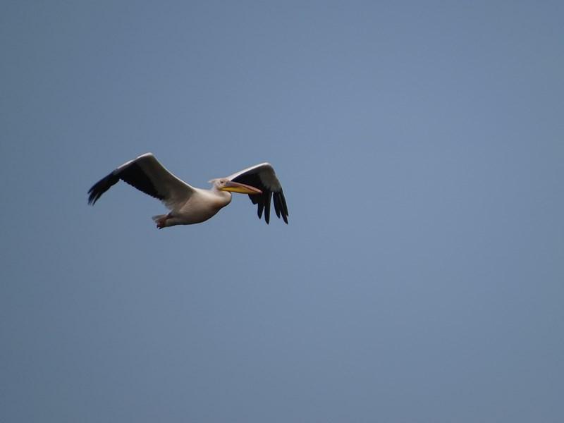 35. Pelican in zbor