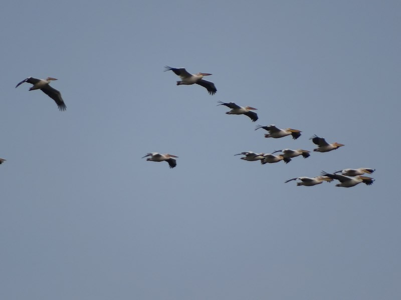 36. Escadrila pelicani