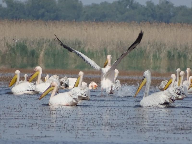 39. Pelicani Delta Dunarii