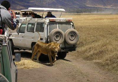 Ngorongoro Leu3
