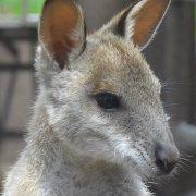 18. Cangur Australia