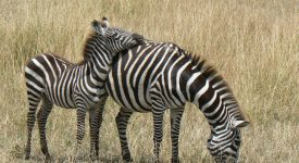 17. Zebre In Kenya